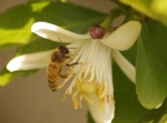 bee in a lemon tree